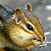 Chipmunk - Go to the Fauna photo page