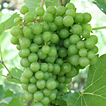 Grapes - Go to the nature photo page